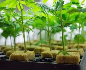 intermediate-marijuana-education