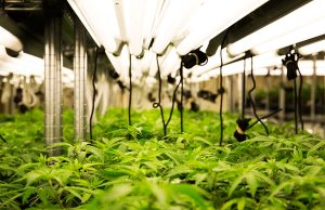 lighting-in-greenhouse-cannabis