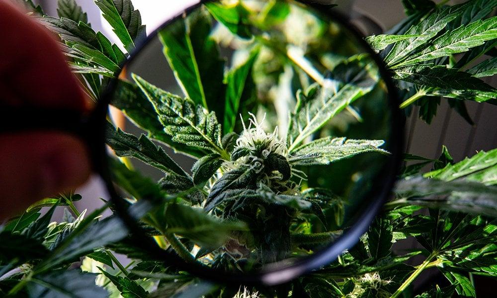 close up magnified marijuana plant