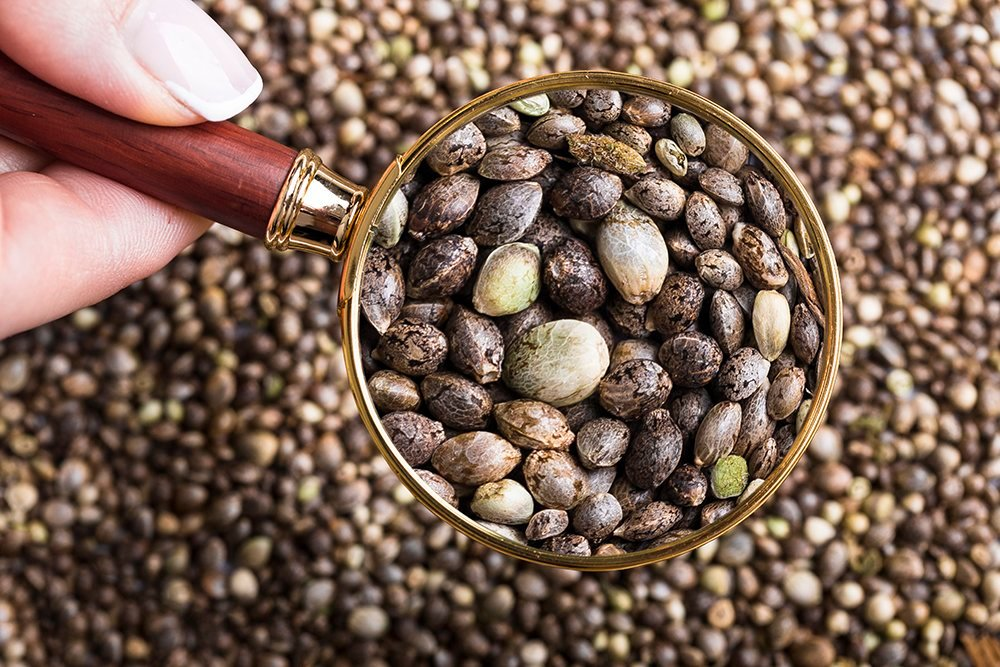 magnifying glass cannabis seeds