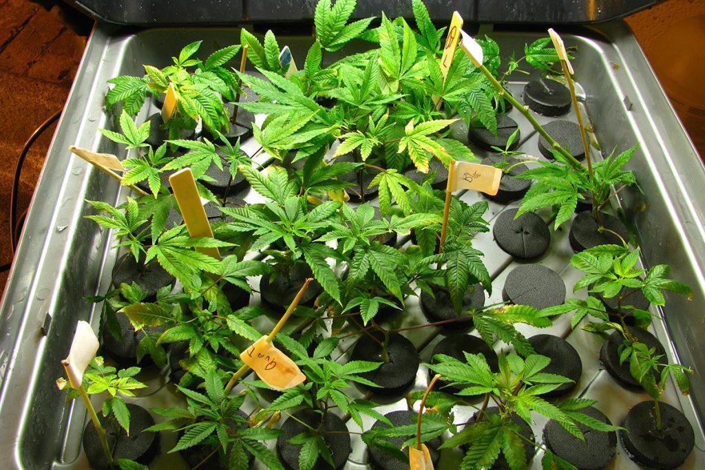 buy-cannabis-seeds-dearborn