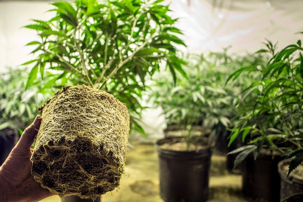 buy-marijuana-seeds-livonia