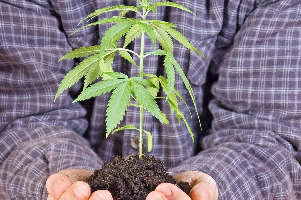 buy-marijuana-seeds-taylor