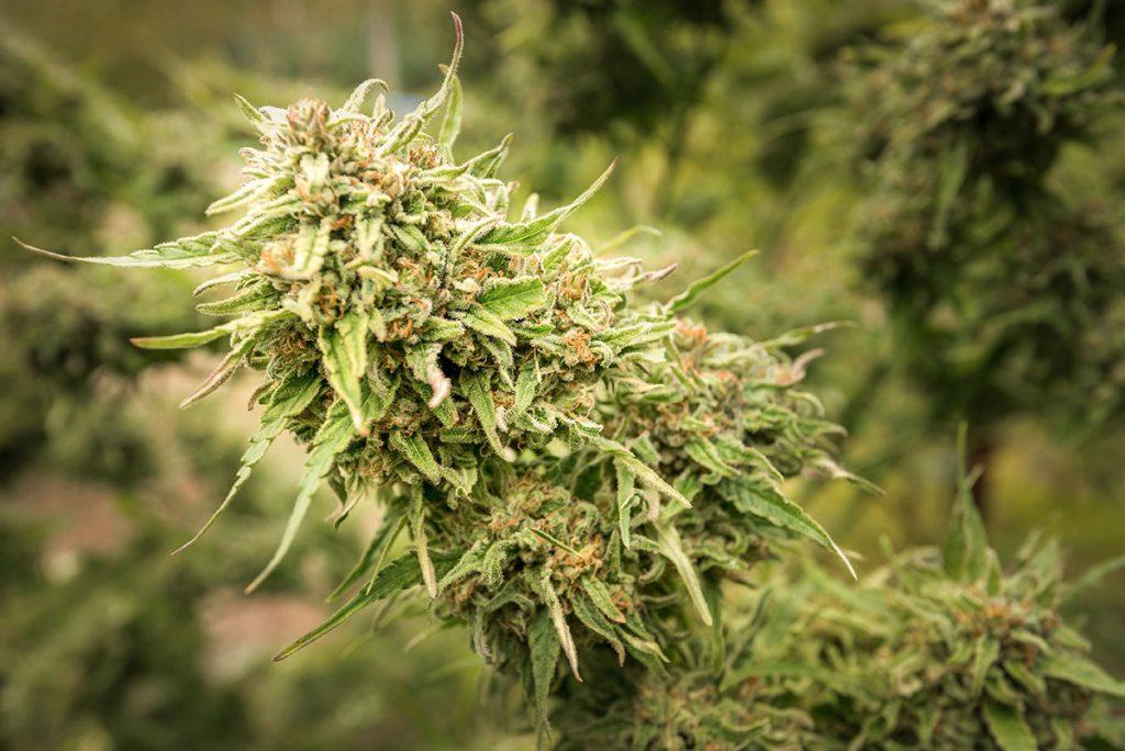 grow-better-cannabis-seeds