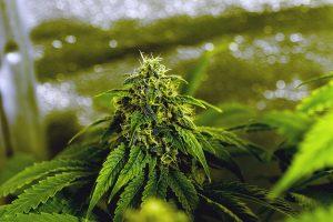 marijuana-that-doesn't-make-you-high