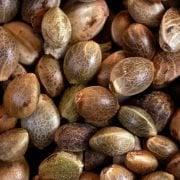 Hemp seed close-up (cannabis)