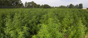 Marijuana Farm in the States
