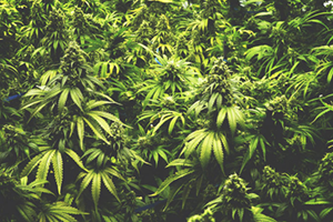 Buy Marijuana in New Hampshire