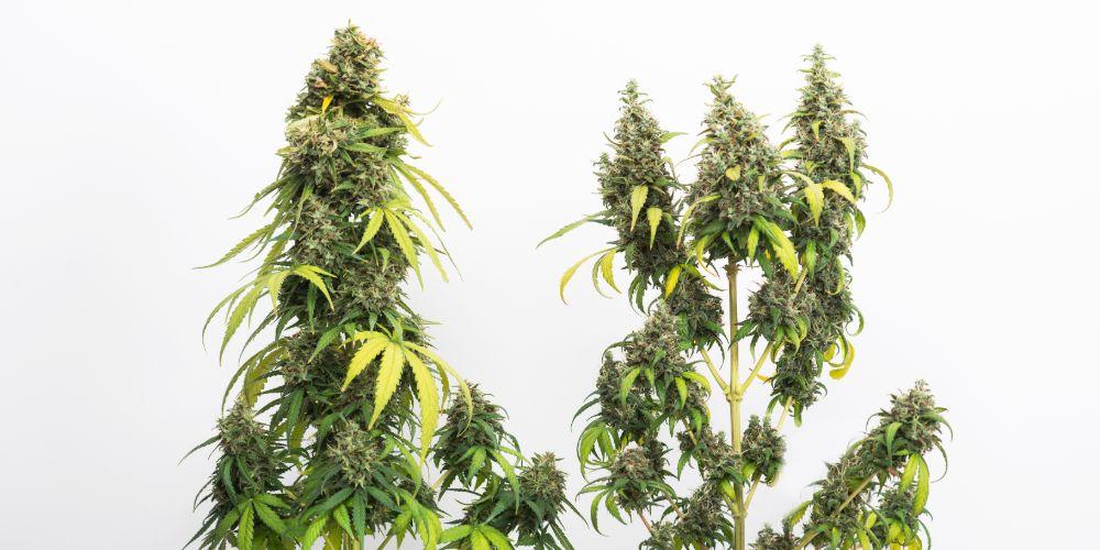 benefits of growing marijuana