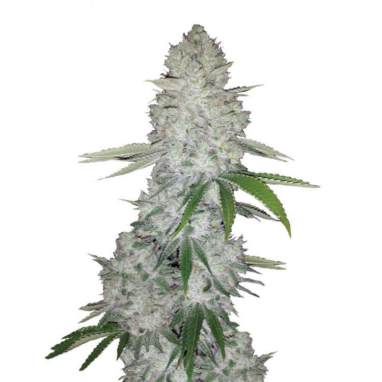 Buy-Ace-Killer-OG-Feminized-Marijuana-Seeds