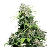 Buy-Barbara-Bud-Autoflowering-Feminized-Marijuana-Seeds