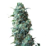 Buy-Black-84-Feminized-Marijuana-Seeds