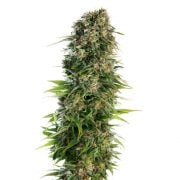 Buy Grape Skunk Autoflowering Marijuana Seeds