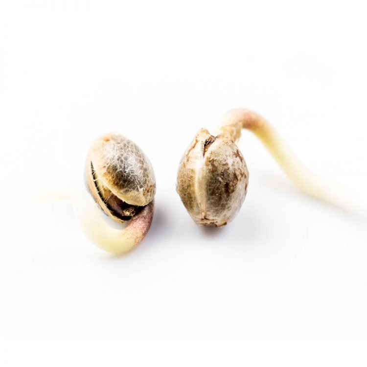 Cannabis-Iced-Widow-Feminized-Marijuana-Seeds