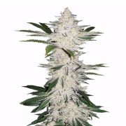 Buy-Edelweiss-Feminized-Marijuana-Seeds