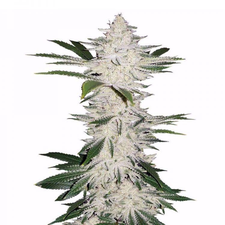 Buy-Edelweiss-Feminized-Marijuana-Seeds
