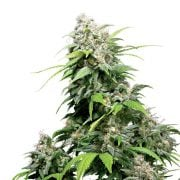 Buy-El-Chapo-OG-Feminized-Marijuana-Seeds