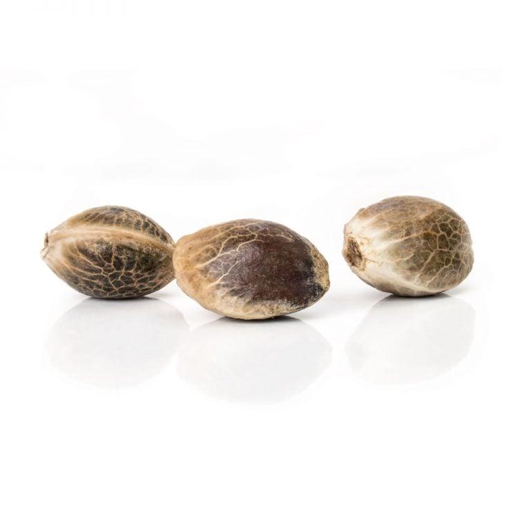 Shop-Grape-OX-Feminized-Marijuana-Seeds