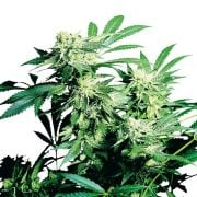 Buy-5th-Element-Feminized-Marijuana-Seeds