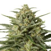 Buy-Afghan-Big-Bud-Feminized-Marijuana-Seeds