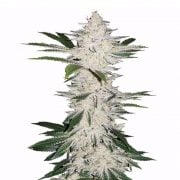 Buy-Alien-Bubba-Autoflowering-Feminized-Marijuana-Seeds