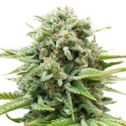 Buy-Biochem-Feminized-Marijuana-Seeds
