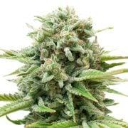 Buy-Biochem-Feminized-Marijuana-Seeds