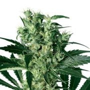 Buy-Blackberry-Bubble-Feminized-Marijuana-Seeds