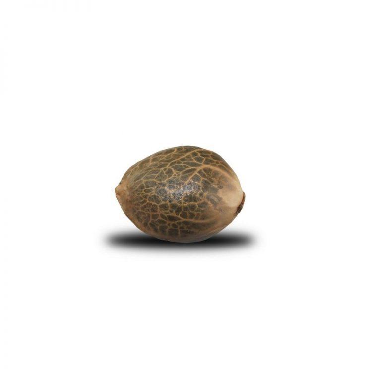 Buy-Super-Cheese-Feminized-Marijuana-Seeds