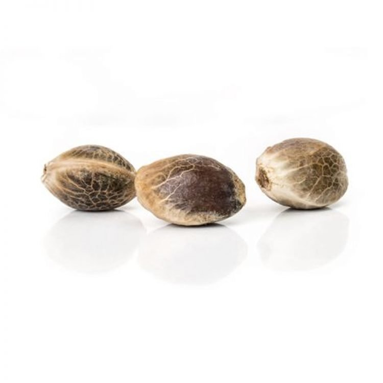 Cannabis-Double-Purple-Doja-Feminized-Marijuana-Seeds