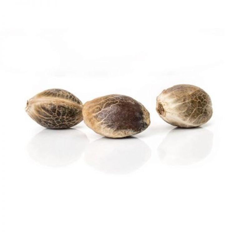 Cannabis-Gravity-Autoflowering-Feminized-Marijuana-Seeds