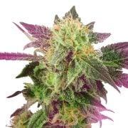 Buy-Double-Purple-Doja-Feminized-Marijuana-Seeds