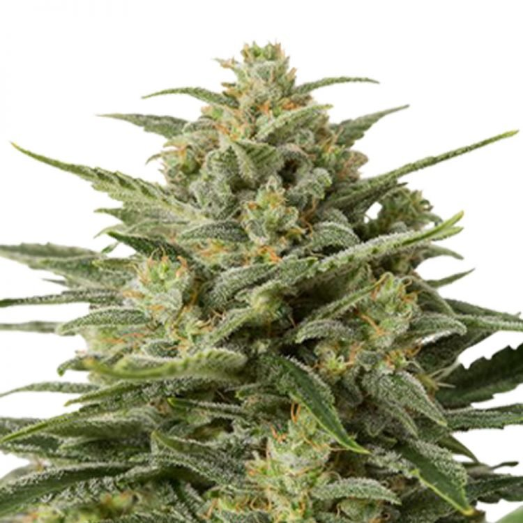 Buy-Erez-Autoflowering-Feminized-Marijuana-Seeds