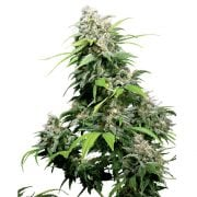 Buy-Fruity-Chronic-Juice-Autoflowering-Feminized-Marijuana-Seeds