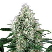 Buy-Godzilla-Feminized-Marijuana-Seeds