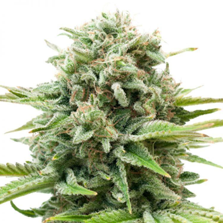 Buy-Gravity-Autoflowering-Feminized-Marijuana-Seeds