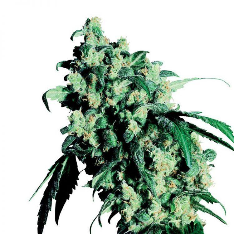 Buy-K-Train-Feminized-Marijuana-Seeds