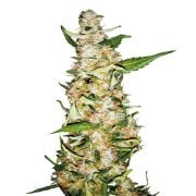 Buy-LA-Ultra-Autoflowering-Feminized-Marijuana-Seeds