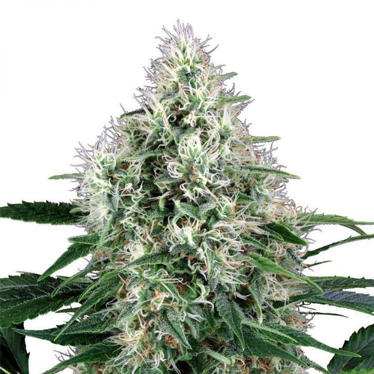 Buy-Misty-Kush-Autoflowering-Feminized-Marijuana-Seeds