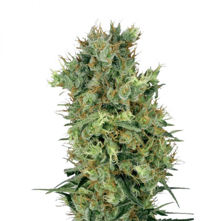 Buy-OG-LA-Affie-Feminized-Marijuana-Seeds