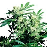 Buy-Punky-Lion-Feminized-Marijuana-Seeds