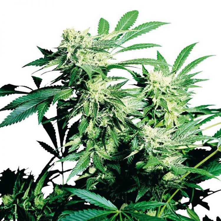 Buy-Punky-Lion-Feminized-Marijuana-Seeds