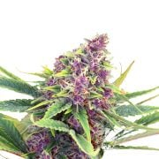 Buy-Purple-Star-Autoflowering-Feminized-Marijuana-Seeds