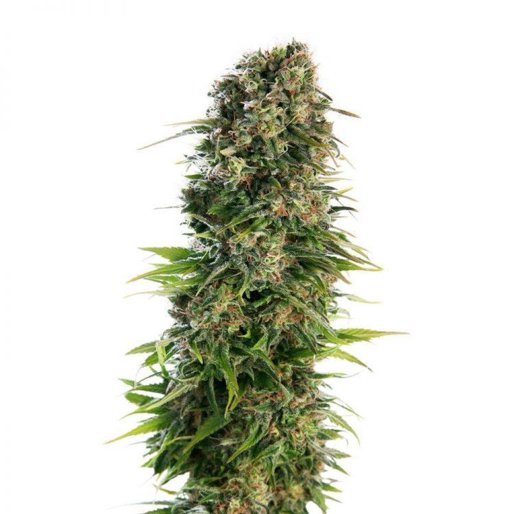 Buy-Ray-Charles-Autoflowering-Feminized-Marijuana-Seeds