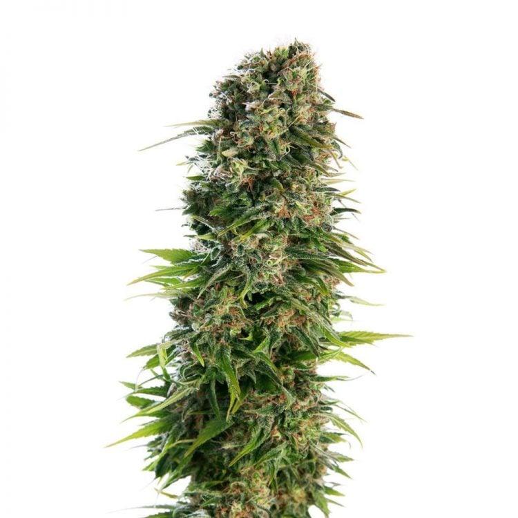 Shop-Red-Dwarf-Feminized-Marijuana-Seeds