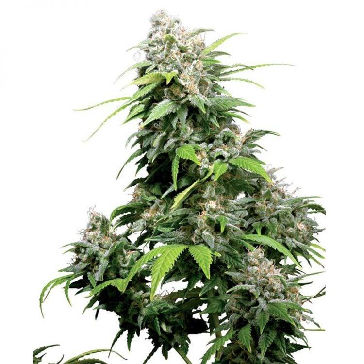 Buy-Alpine-Star-Feminized-Marijuana-Seeds