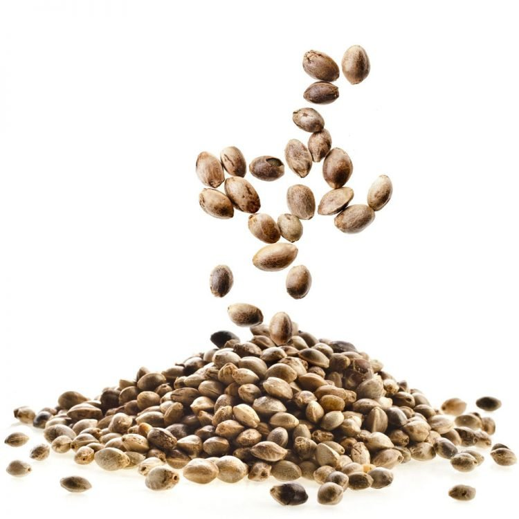 Cannabis-Khufu-Feminized-Marijuana-Seeds