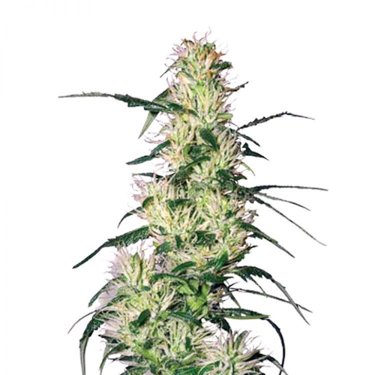 Buy-Pluto-Kush-Autoflowering-Feminized-Marijuana-Seeds