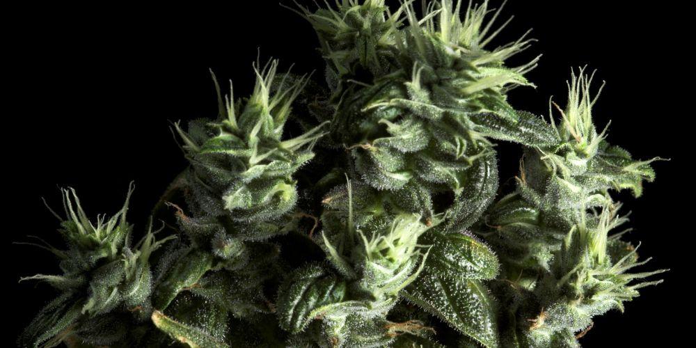 iStock 1197216831 - 7 Strange Facts About Marijuana You Probably Never Knew