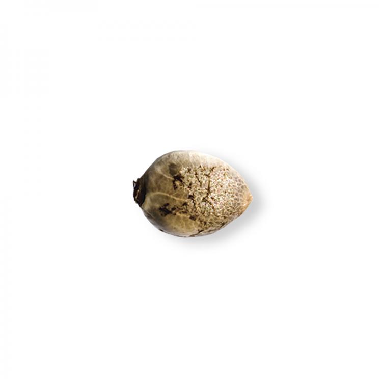 Buy Bubble Cheese Feminized Marijuana Seed